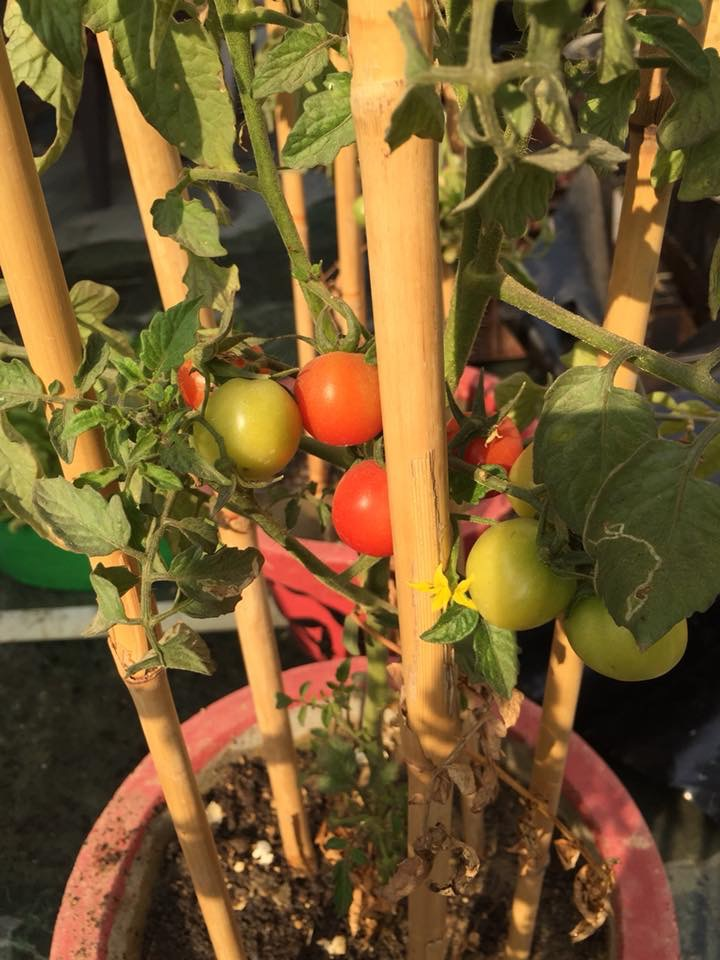 Growing Tomatoes on Rooftop